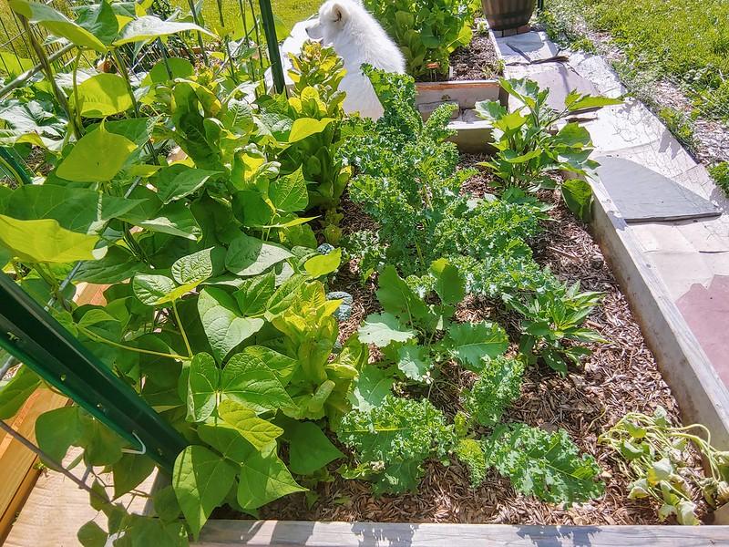 The bean/lettuce/kale/pepper/eggplant bed