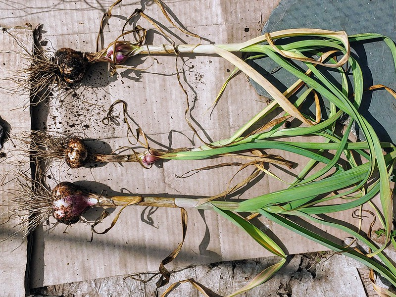 The last harvesting of the softneck garlic