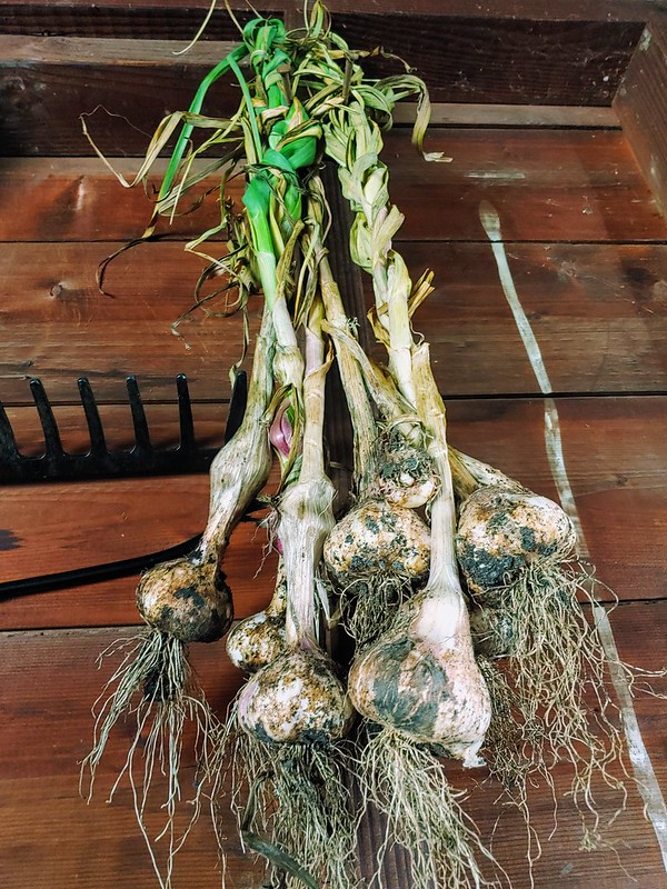 Hanging Softneck Garlic Up in the Garage to Dry