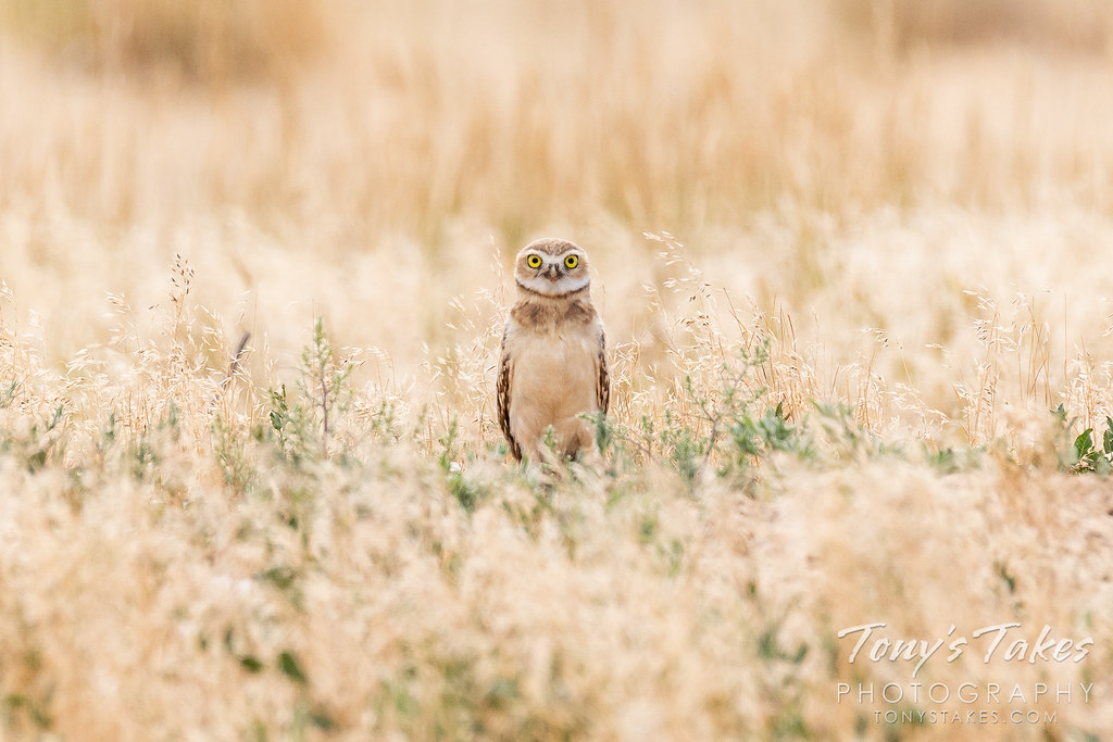 Burrowing owl owlet is all eyes for the photographer