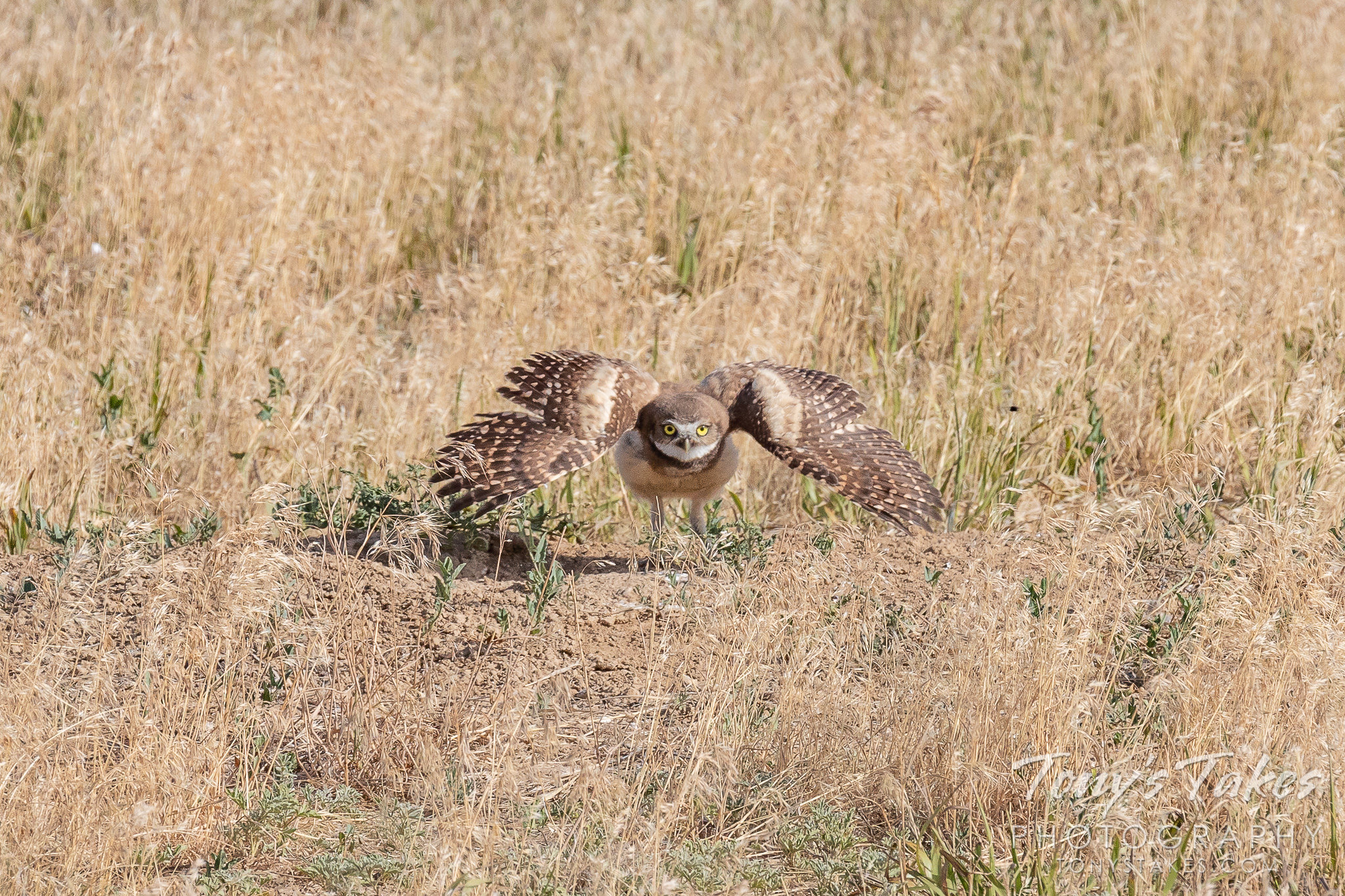 A burrowing owl owlet puffs up to warn off a prairie dog. (Tony's Takes)