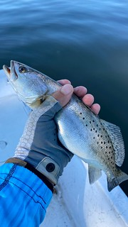 Photo of speckled trout