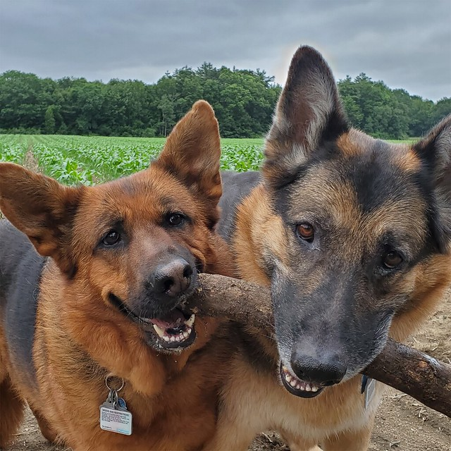 Grim and Mila - My two sheps :)
