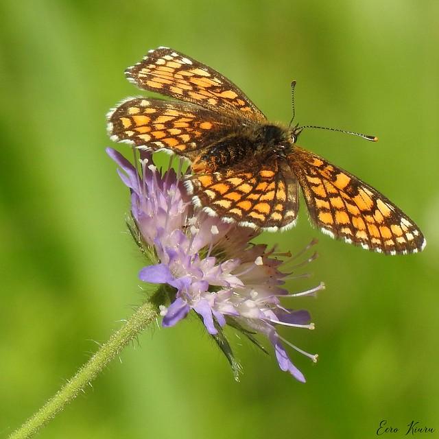 Heath Fritillary (Melitaea athalia)