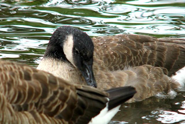 July 13 - 68 days old - Canada goose, Branta canadensis, Kanadagås