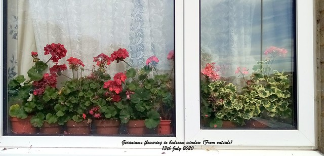 Geraniums flowering in bedroom window (From outside) 13th July 2020