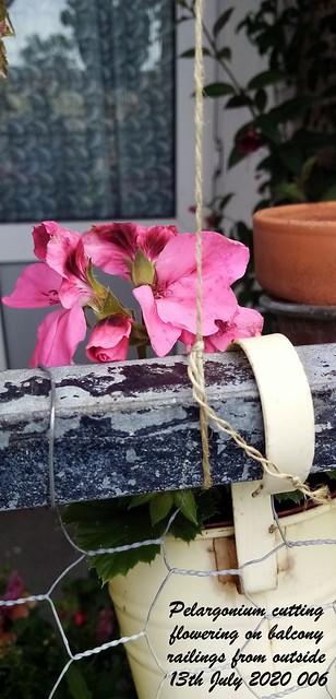 Pelargonium cutting flowering on balcony railings from outside 13th July 2020 006