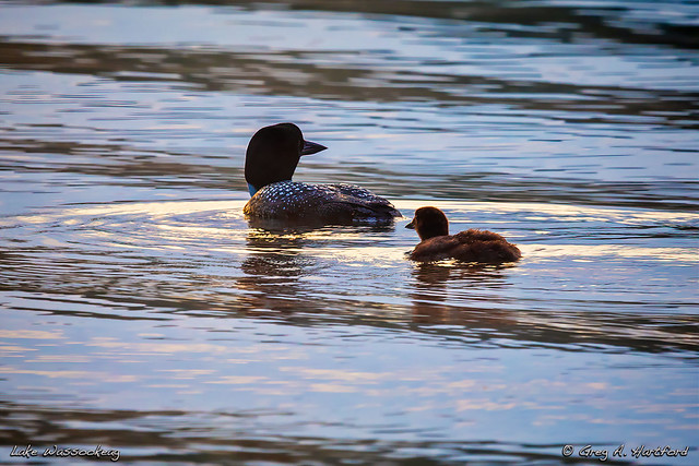 Loons on Maine Lake