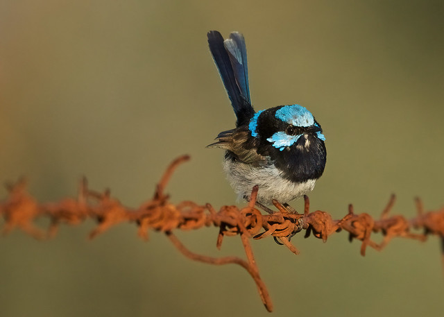 Superb fairy wren, male