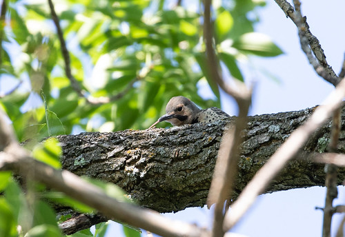 Northern Flicker fledgling