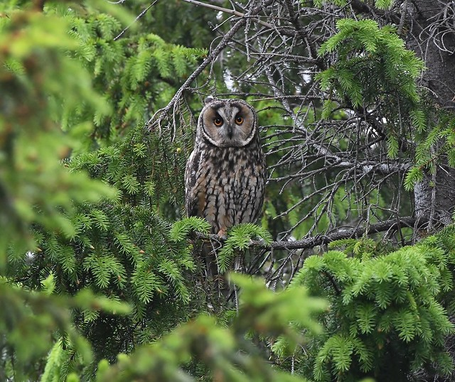Long-eared owl 61 (eyrugla)