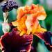 Rust colored bearded iris
