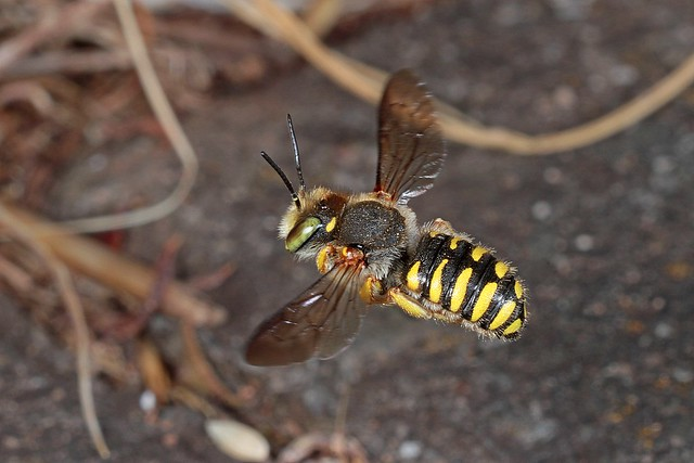 Rolf Nagel-Fl-7402-Anthidium oblongatum Male