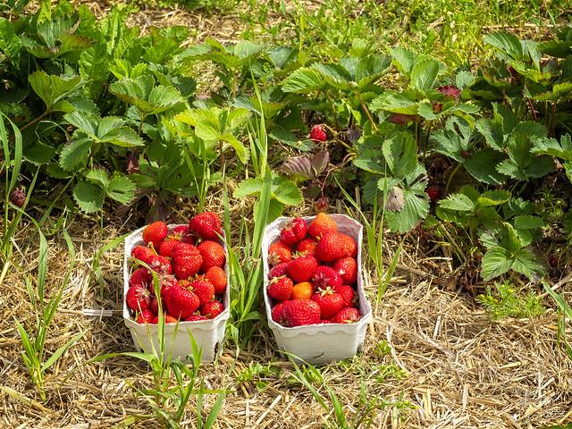 Pick Strawberries Yourself, Organic Farm Shop Holtgaard, Odder 2020