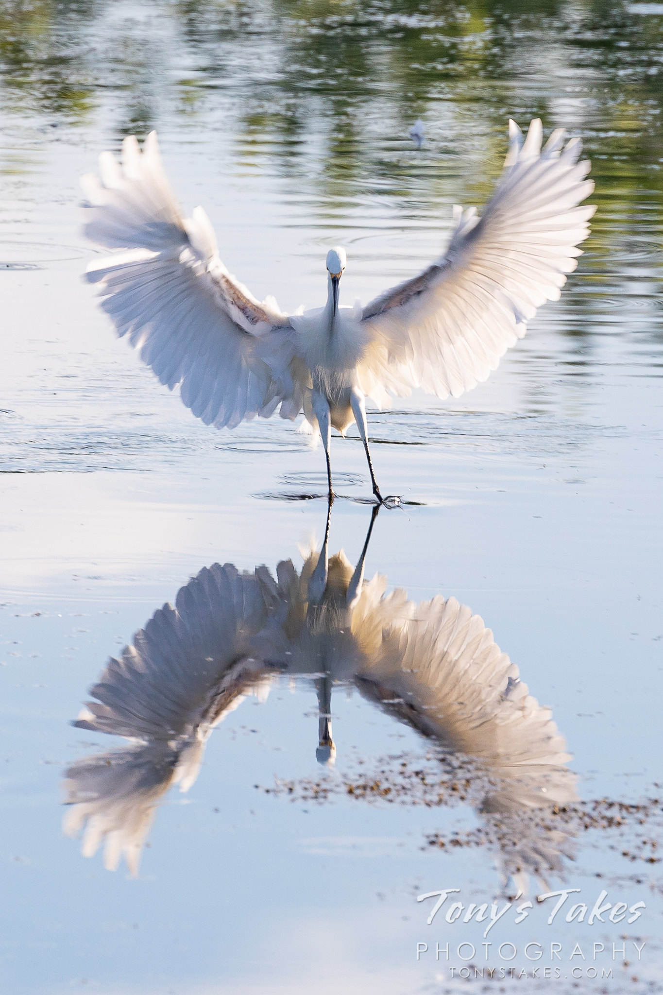 A snowy egret makes a landing that is reflected on the pond. (Tony's Takes)