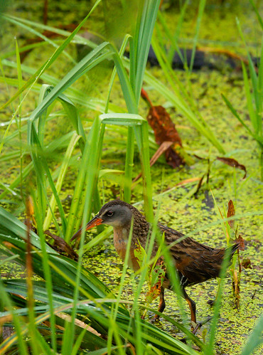 Virginia Rail | by RazaVerde.com