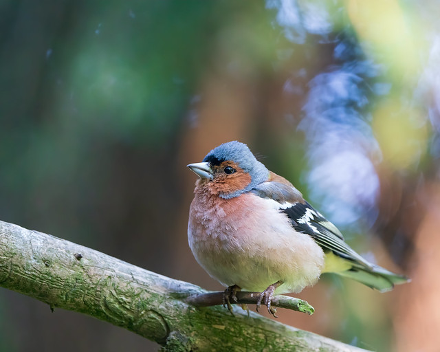 Common Chaffinch - Peippo