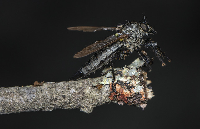 Asilidae fly saved from drowning