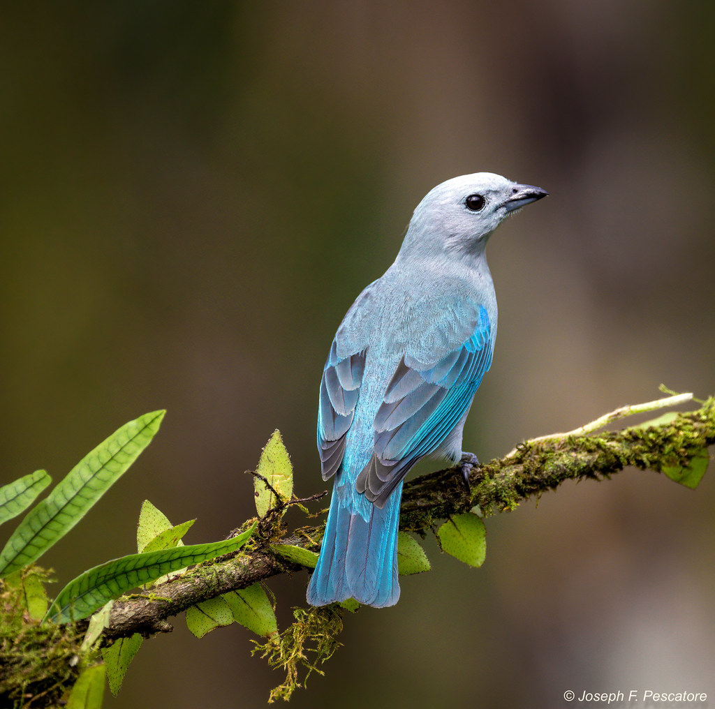 Blue-gray Tanager (Thraupis episcopus) - Boca Tapada, Costa Rica