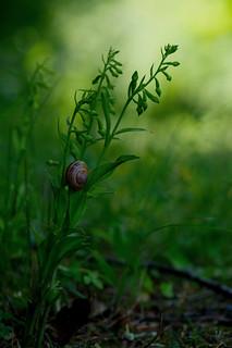 Green Flowered Helleborine - Epipactis phyllanthes var. degenera