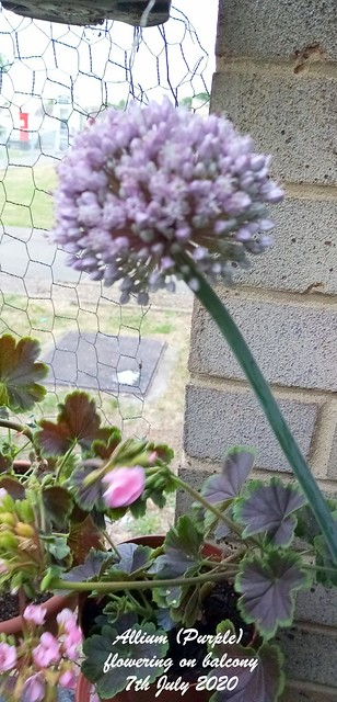 Allium (Purple) flowering on balcony 7th July 2020