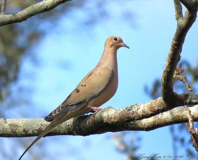 Blue Sky Mourning Dove