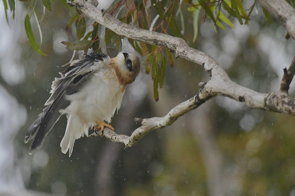 Black - shouldered Kite Juv. ( yes! it is a little  wet )