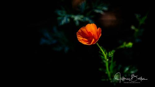 mtview ca us poppy flower red orange blackinback
