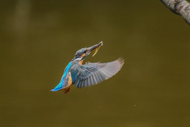 Kingfisher -202007111381.jpg