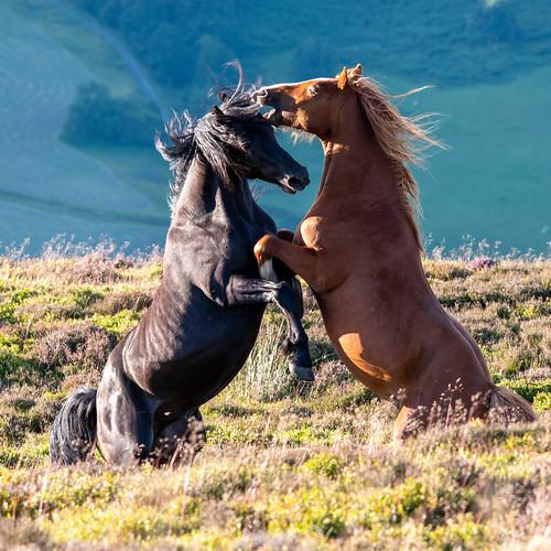 Wild Horses (chrispeberdy)