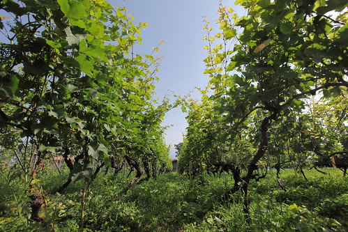 horizontal outdoor nopeople field grapes vine vineyard wine winery lowangle wideangle bugeyeview green colour color dof depthoffield sky bluesky flare light sunlight tree summer travelling travel june 2018 vacation canon camera photography canon5dmkii kakheti telavi schuchmannchateau georgia eurasia easterneurope westasia