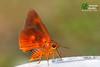The Great Orange Awlet - ผีเสื้อหน้าเข็มปีกมนส้มใหญ่