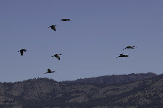 White-faced Ibis over Sierra Valley | by feathersandflora