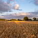 Cornfield, Little Barford