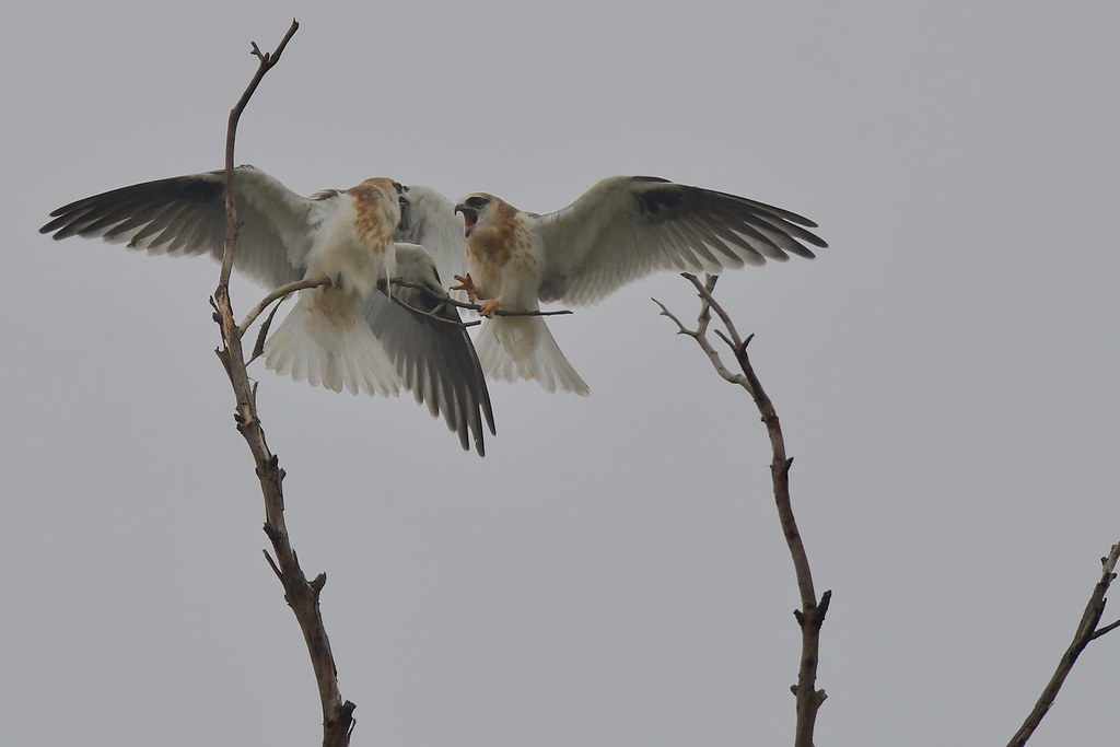 Black-shouldered Kites Juv. ( I was here first  )