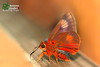 The Branded Orange Awlet - หน้าเข็มปีกมนตัวเขียว