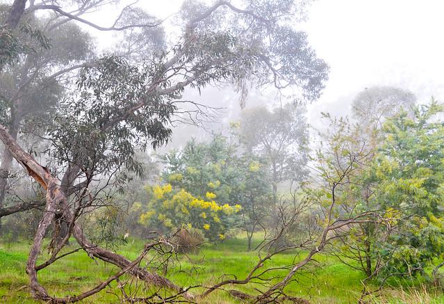 Wattles flowering