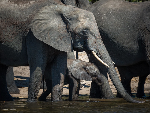 Mother elephant and her calf drinking water from the Chobe river