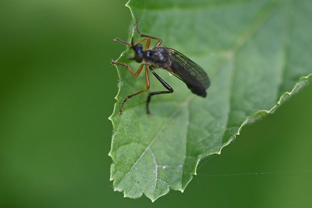 Dioctria hyalipennis Fly