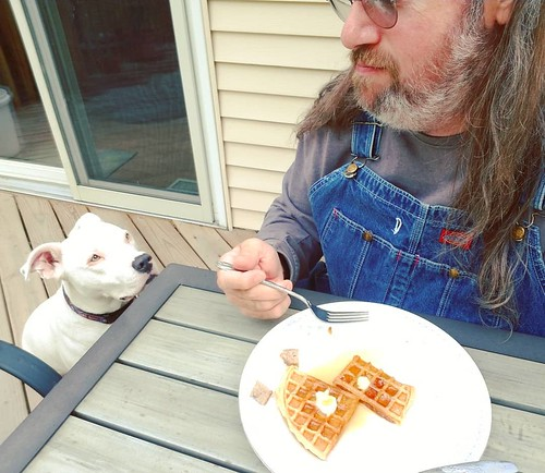 I see you have a waffle.... #Carla #dogsofinstagram #pitbullsofinstagram #pitbullmix #pittie #staffordshirebullterrier #staffiesofinstagram #yum #waffles #overalls #dungarees #biboveralls #vintage #dickiesworkwear #denim #bluedenim #denimoveralls #overall