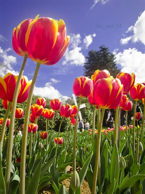 Tesselaar tulips