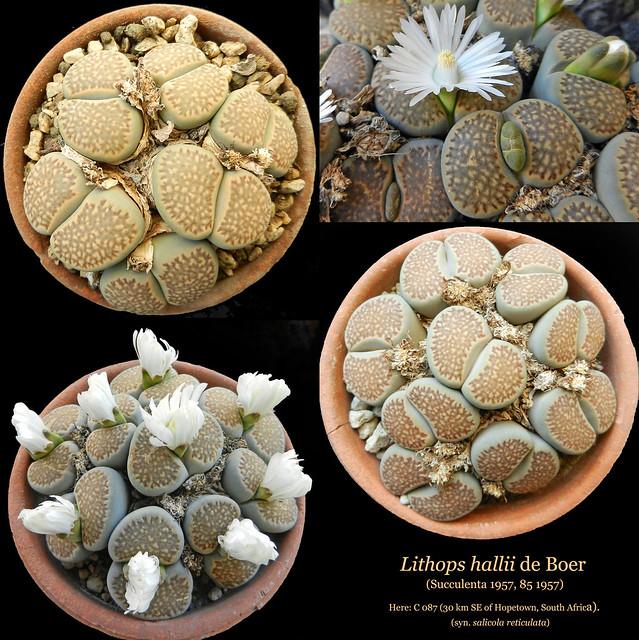 Lithops hallii [syn. salicola reticulata] C 087 (collage)