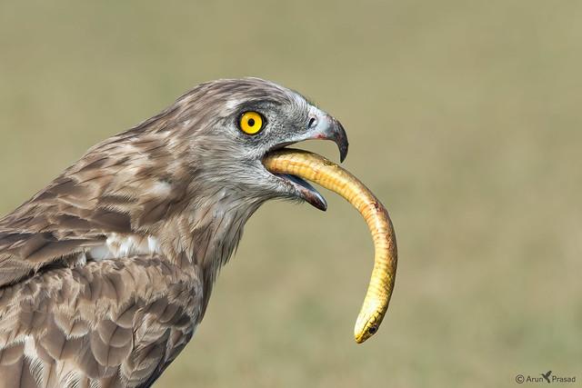 Stort-toed Snake eagle with Rat Snake kill