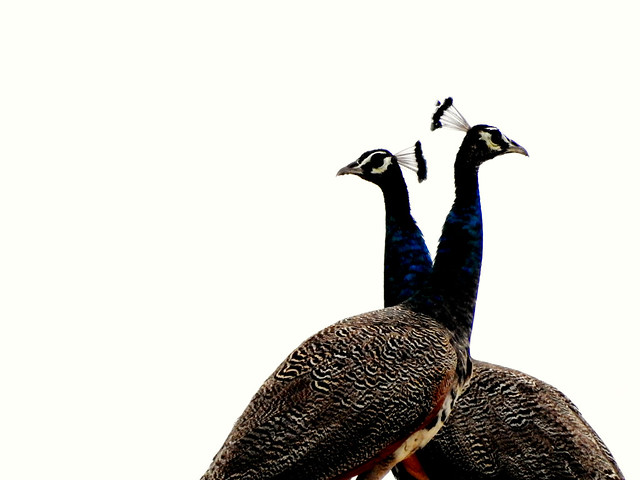 two peahens
