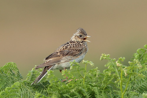 Skylark (HH) | by Hammerchewer