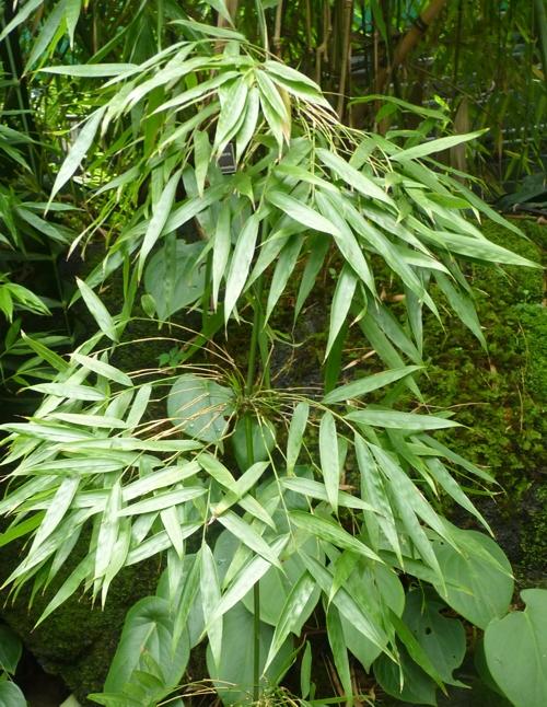 Chusquea simpliciflora 50110894591_7342bc5d80_o