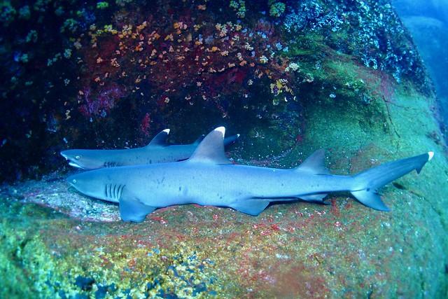 Requins pointe blanche