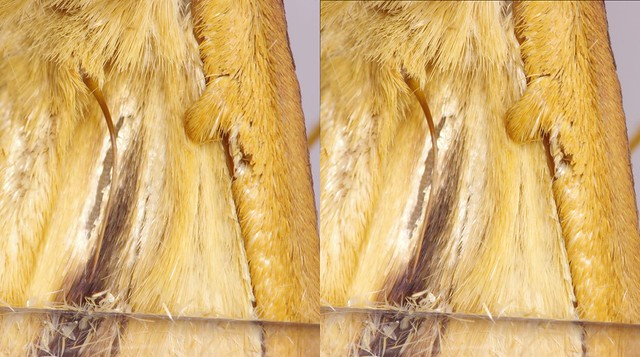 frenulum and retinaculum of moth, stereo parallel view