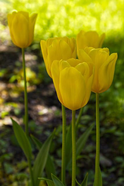 Yellow tulips in the shadows - Helsinki