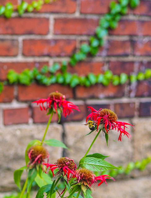 Busy Bee against Brick Wall